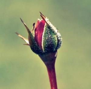rosenknopp